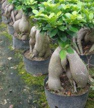 Sahte bonsai F. ginseng