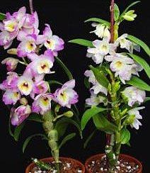 Çiçekli halde Dendrobium nobile orkideleri