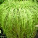 Carex frosted curls (Carex albula)