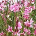 Gaura çiçeği