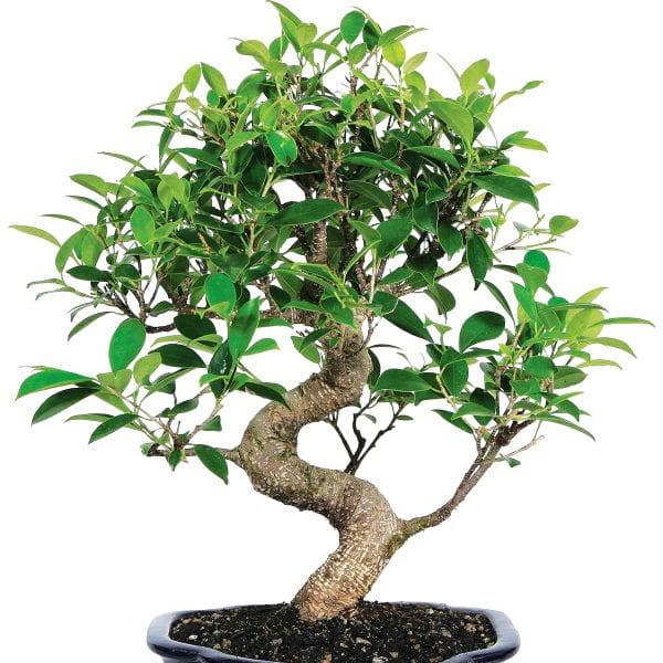 Bonsai sanatına uygun bir Ficus ginseng