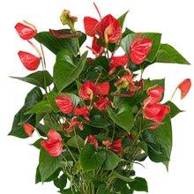 Hormonlu çiçekler