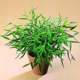 Pogonatherum paniceum, minyatür bambu