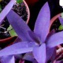 Mor telgraf çiçeği