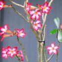 Çiçeklenmiş adenium dalları