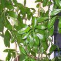 Afrika süt çalısı, Euphorbia pseudograntii
