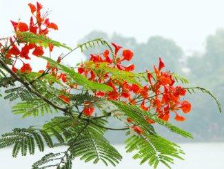 Ateş ağacının yapraklı, çiçekli dalı.