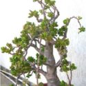 Bonsai yeşim ağacı