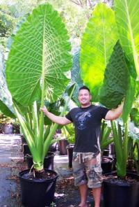 A. macrorrhizos 'Borneo Giant'