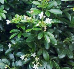 Choisya ternata, Meksika portakal çiçeği