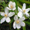 Choisya ternata'nın çiçekleri