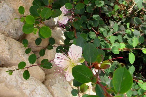 Kapari (gebre otu) çiçekli dalları