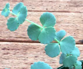 S. sieboldii yapraklı dalı