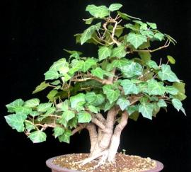 Hedera helix'ten yapılmış bir bonsai ağaç