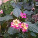 Ağaç minesi ve çiçekleri