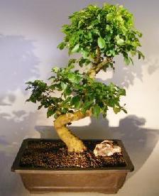 Kurtbağrı bonsai
