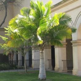 Ravenea rivularis – Majesty palmiye
