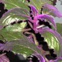 Kara sevda (mor kadife) çiçeği