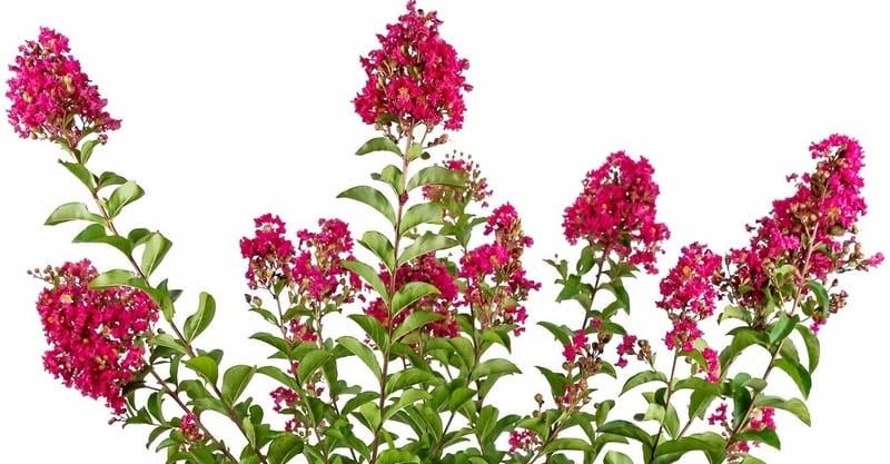 Çiçeklenmiş bir oya ağacı