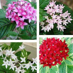 Pentas, beşiz çiçeği