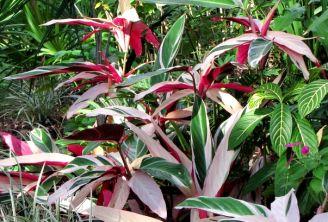 Üç renkli dua çiçeği, Stromanthe sanguinea 'Tricolor'