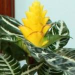 Afelandranın çiçeği