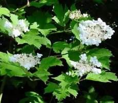 Gilaburu (Viburnum opulus)