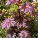 Hint yağı (Hint baklası) bitkisi