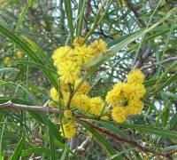 İzmir mimozası, Acacia retinodes