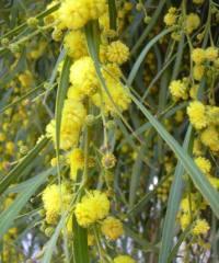 Kıbrıs mimozası, Acacia saligna