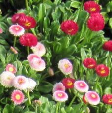 Şeker tabağı çiçeği