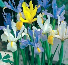 İris (soğanlı süsen) çiçekleri