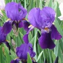 Süsenin çiçekleri
