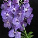 Vanda orkidesi