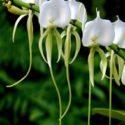 A. eburneum türünün çiçekleri