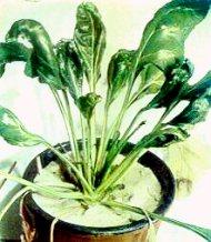 Bitkilerde kalsiyum eksikliği alametleri