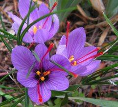 Safran çiçekleri