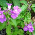 Sarımsak sarmaşığının çiçekleri