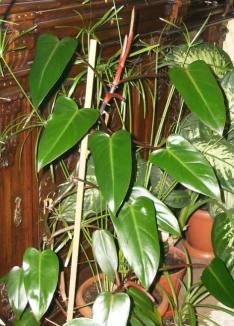 Kızaran filadendron