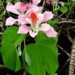 Orkide ağacı