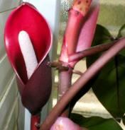 Philodendron erubescens, çiçek açması