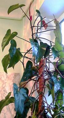 Philodendron erubescens 'Emerald red'
