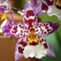 Cambria orkidelerinin çiçeklerinden bir örnek