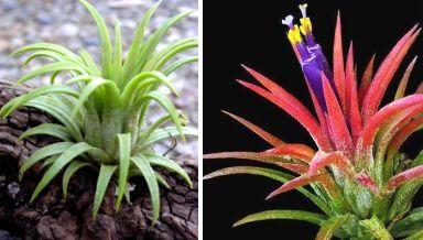 Tillandsia ionantha, çiçek açacağı zaman renkleniyor.