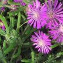 Drosanthemum floribundum çiçekleri