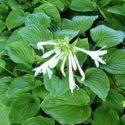 H. plantaginea yaprakları ve çiçekleri