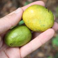 African mango meyveleri