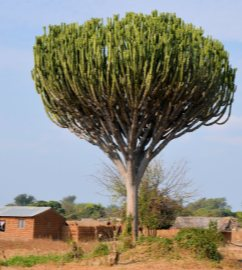 Euphorbia ingens ağacı