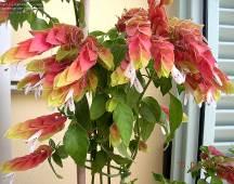 Justicia brandegeeana (karides çiçeği)