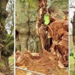 Yaşlı kestane ağaçları